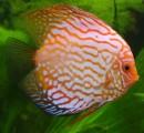 Discus Fish Plr Articles