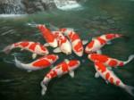 Koi Fish Plr Articles
