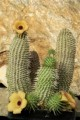 Hoodia Plr Articles