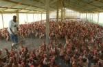 Poultry Farming Plr Articles