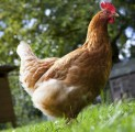 Keeping Chickens Plr Articles