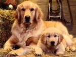 Golden Retriever Plr Articles