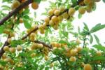 Fruit Trees Plr Articles