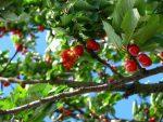 Growing Fruit Tree Plr Articles